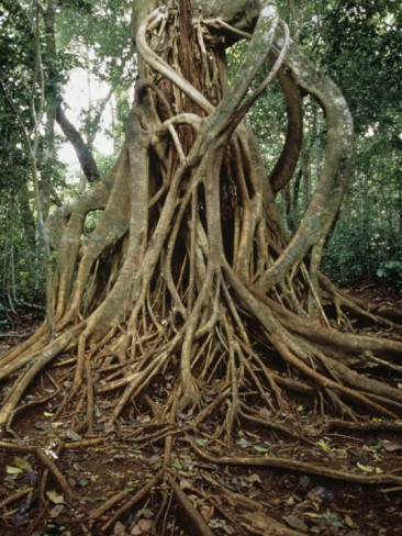 henry-lehn-strangler-fig-ficus-growing-on-its-host-tree-in-a-tropical-rainforest-costa-rica