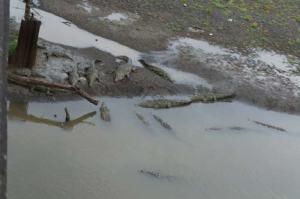 So many crocodiles!